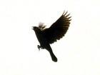 Jsc20000520redwing20blackbird202_1